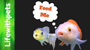 Goldfish Feeding Chart How To Feed Goldfish