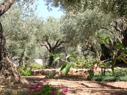 Image result for garden of gethsemane bible