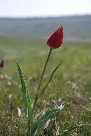 Tulipa schrenkii - Wikipedia
