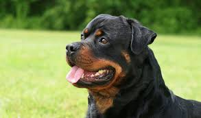 rottweiler dog mean. rottweiler dog breed mean