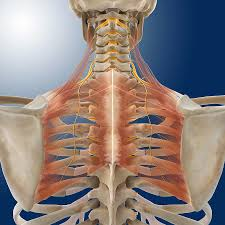In addition to moving the arm and pectoral girdle, muscles of the chest and upper back work together as a group to support the vital process of breathing. Upper Back Anatomy Artwork Photograph By Science Photo Library