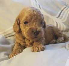 kapoo puppies for in texas goldenacresdogs bernedoodle miniature puppy