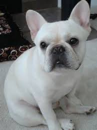 grown white french bulldog. Unique Bulldog Adult White French Bulldog  Bing Images More To Grown White French Bulldog Pinterest