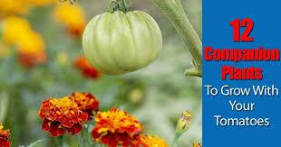 Arugula Companion Planting Chart 12 Companion Plants To Grow With Your Tomatoes