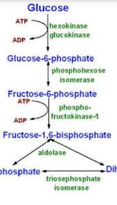 Glycolysis Flow Chart Draw A Flowchart Showing Pathway Of Aerobic Glycolysis