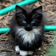 fluffy black kittens with blue eyes.  With A Beautiful Blue Eyed Kitty  Wearing A Nice Fluffy Tuxedo I Have Real  Affinity For Tuxedo Cats For Fluffy Black Kittens With Blue Eyes I