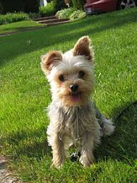 yorkshire terrier character is described as conveying an important air