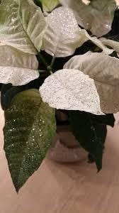 Claudia Wichmann On Twitter Weihnachtsstern Euphorbia