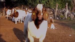 Boer Goat Embroidery Designs Boer Goat In Nepal Youtube
