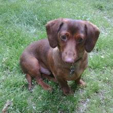 featured breed miniature dachshund