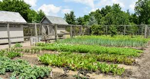 here is one side of my vegetable garden down by the en coops all the plants are looking so great i like to use salt hay in the footpaths to enhance