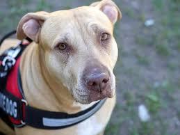 Emotional support animal real Registry Pit Bull Wearing Service Dog Vest Emotional Support Animal Fedsmithcom Should Dot Regulate emotional Support Animals Fedsmithcom