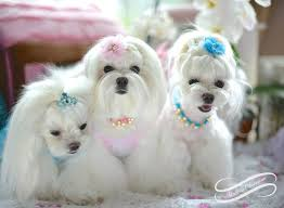 maltese dog. they are adorable. maltese dog