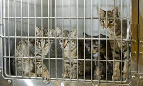cats in animal shelters. Delighful Shelters Throughout Cats In Animal Shelters