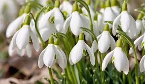 Image result for snowdrops flower