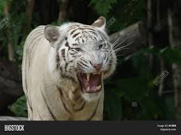 white tiger growling. Brilliant White White Tiger Growl With Growling M