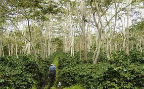 shade grown coffee plantation. Brilliant Grown Mesa De Los Santos Estate In Colombia This Family Business Participates  A Fair And Shade Grown Coffee Plantation E