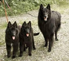 belgian rastadogcarnivalhatwith breed