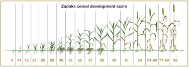 Wheat Growth Chart Image Result For Growth Stages Of Wheat Stage Chart