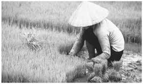 culture of vietnam history people clothing traditions women rice is a staple of viet se cuisine eaten three meals a day but rice
