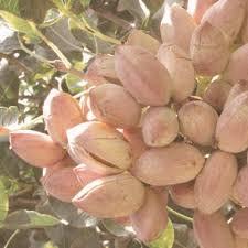 Visit Kerman A Historical City Of IranIranian Fruit Trees