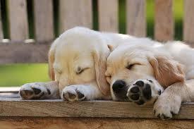 golden retriever puppies sleeping. Fine Puppies KimballStock_PUP 08 SS0015 01_preview With Golden Retriever Puppies Sleeping T