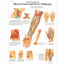 Nerve Chart Leg Clinically Important Blood Vessel And Nerve Pathways Chart