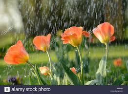 Gemeinsamer Garten Tulpe Tulipa Spec Tulpen Im
