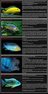 Small Picture 89 best Cichlids images on Pinterest African cichlids Tropical