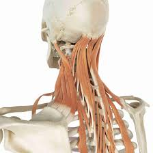 Level ii upper internal jugular nodes, posterior to the back of the submandibular salivary gland, anterior to the back of the sternocleidomastoid. Levator Scapula Muscle And Its Role In Pain And Posture