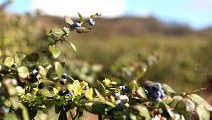 Blueberry Varieties Comparison Chart Blueberry Varieties U S Highbush Blueberry Council
