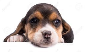Portrait Of Beagle Dog Breed Isolated ...