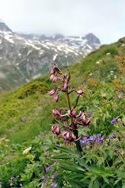 Liliaceae - Wikipedia