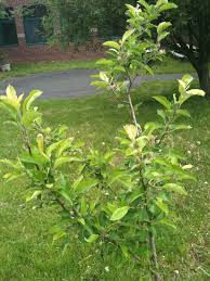 back in 2007 we decided to plant an apple tree in our courtyard it wasn t easy to get this idea approved there were lots of valid concerns