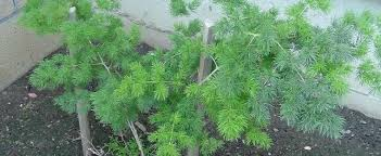 Ming Fern Asparagus macowanii
