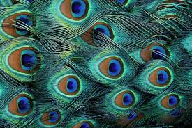 Peacock Pattern Unique Pattern In Male Peacock Feathers Stock Photo Dissolve
