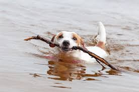 Jack russell terrier dog is swimming ...