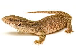 petco animals reptiles. Beautiful Reptiles Monitor And Tegu Throughout Petco Animals Reptiles