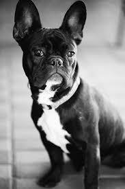 black french bulldog full grown.  Black Black French Bulldog Beautiful Picture And Full Grown L