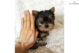 micro teacup yorkie puppies for sale. Simple For Micro Yorkie Yorkshire Terrier  Yorkie Puppy For Sale Near Ventura  County California  4819b97bc0b1 To Teacup Puppies For Sale Y