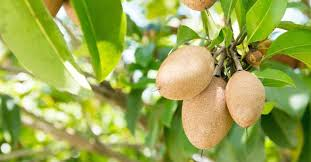 15 Unique And Rare Indian Fruits You Need To Try Right NowKerala Fruit Trees