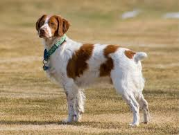 17 best spotted dog breeds list with