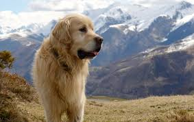 The Great Pyrenees Dog A Big Puppy With An Even Bigger
