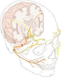 Facial Nerve Wikipedia