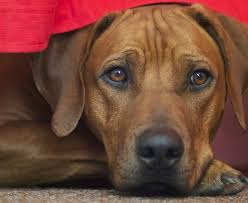 rhodesian ridgeback is a muscular intelligent loyal and independent dog that originally bred as a hunting dog in africa they are very protective of their