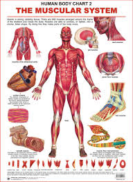 Body Chart Human Body Charts The Muscular System