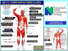 Intro To Muscle Movie Project Interactive Muscle Chart