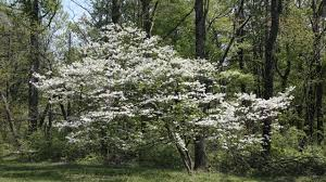how to save a dying dogwood tree