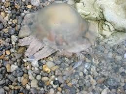 British Jellyfish