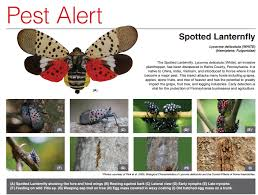Bucks Spotted Springfield County Of Township Alert Fly Facebook Pest - Lantern The An